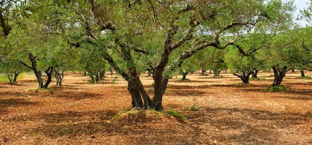 Olivi olea europaea a creta, in grecia per la produzione di olio d'oliva