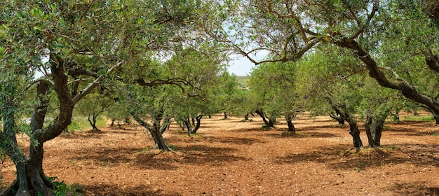 Olivi olea europaea a creta grecia per la produzione di olio d'oliva