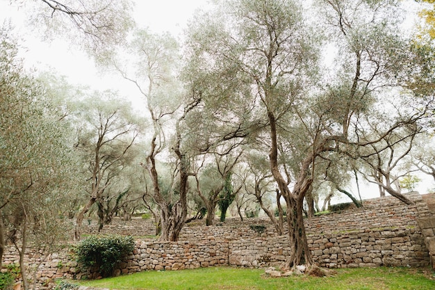 Gli ulivi nel giardino degli ulivi tumuli di pietra multipiano