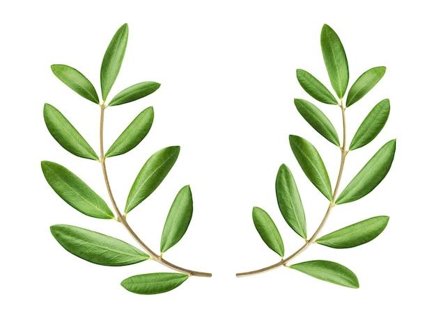 Corona verde oliva, due rami di ulivo freschi isolati su priorità bassa bianca con il percorso di residuo della potatura meccanica