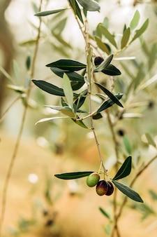 Olive sul ramo. giardino di olivi, campo di ulivi mediterraneo. olive in varie fasi di maturazione. sfondo flou.