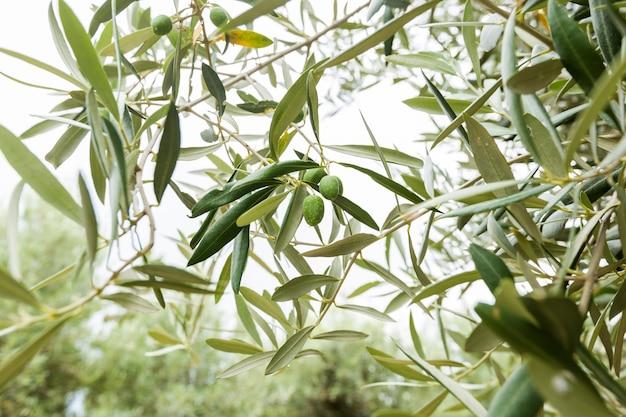 Olive e ulivo nel giorno d'estate.