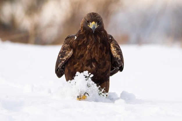 Inquietante aquila reale che cammina sul prato nella natura invernale.