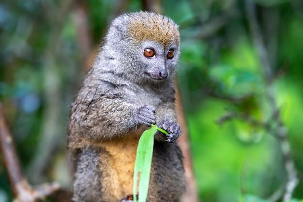 Un lemure di bambù con un filo d'erba su un ramo