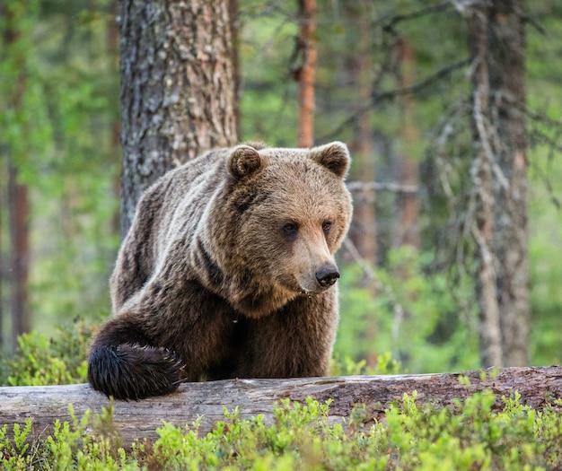 Un orso sullo sfondo di una bellissima foresta
