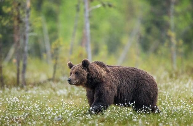 Un orso sullo sfondo della foresta tra i fiori bianchi