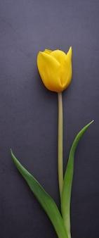 Un bellissimo tulipano giallo brillante in primo piano contro un muro di stucco grigio scuro.