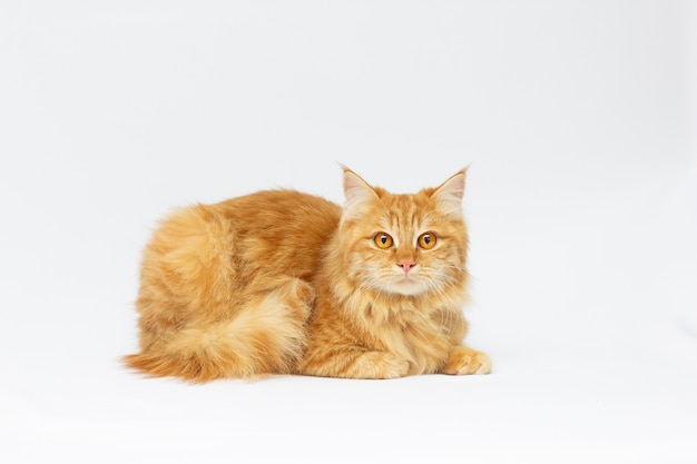 Un bellissimo gatto rosso isolato su un bianco