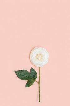 Una bella rosa bianca fiore con foglie verdi su sfondo rosa pastello con spazio di copia. concetto minimo di vacanza. sullo sfondo della natura. tendenze di colore.