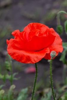 Un papavero rosso in fiore in giardino