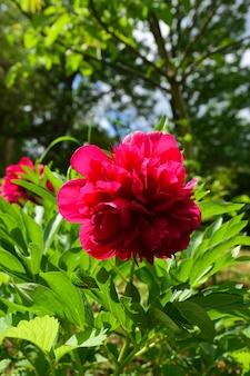 Un fiore di peonia rosso brillante su uno sfondo sfocato di foglie verdi e alberi ravvicinati