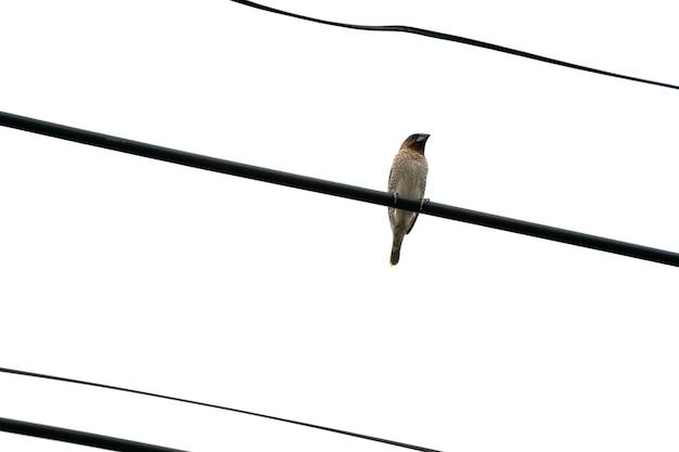 L'unico uccello marrone è appeso al cavo elettrico da solo con il cielo bianco aperto.