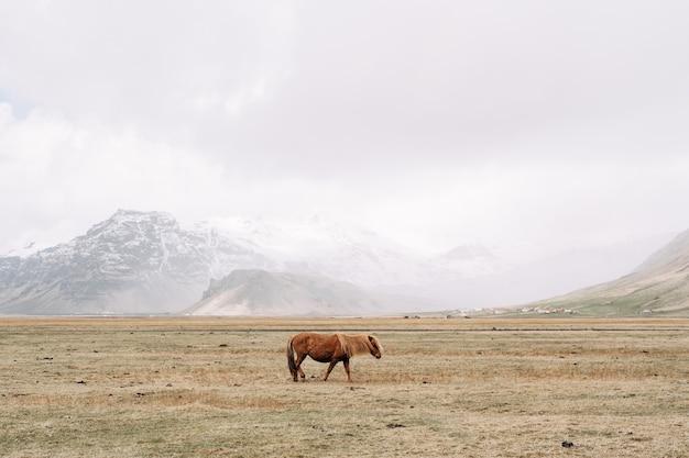 Un cavallo marrone attraversa il campo in mezzo a una tempesta di neve in montagna, il cavallo islandese è un