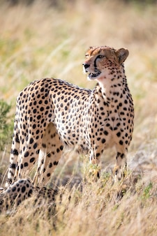 Un ghepardo nell'erba della savana
