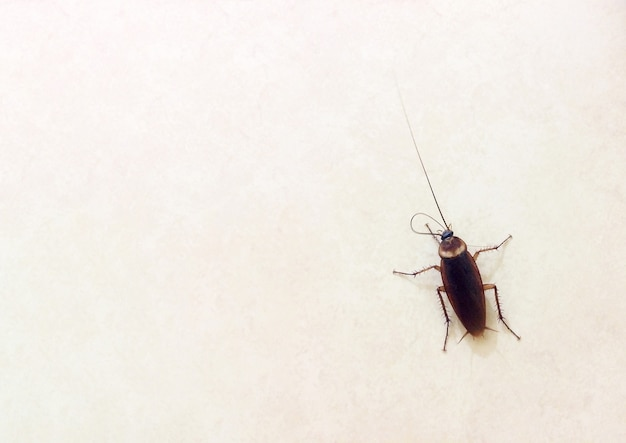 Uno scarafaggio su un terreno pianeggiante è un animale portatore che causa malattie digestive molto pericolose.