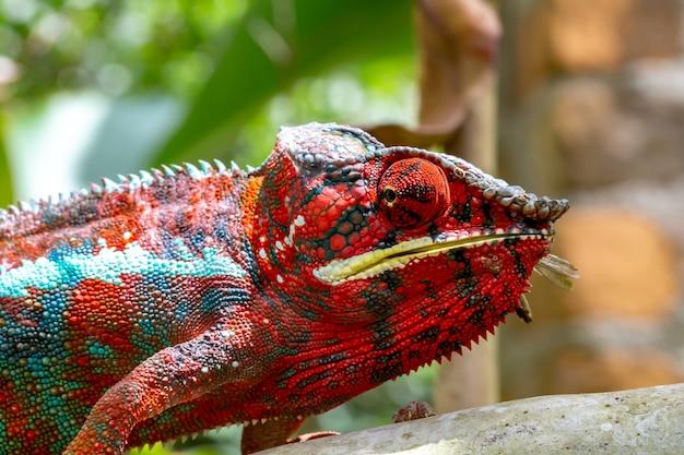 Un camaleonte colorato su un ramo in un parco nazionale dell'isola del madagascar