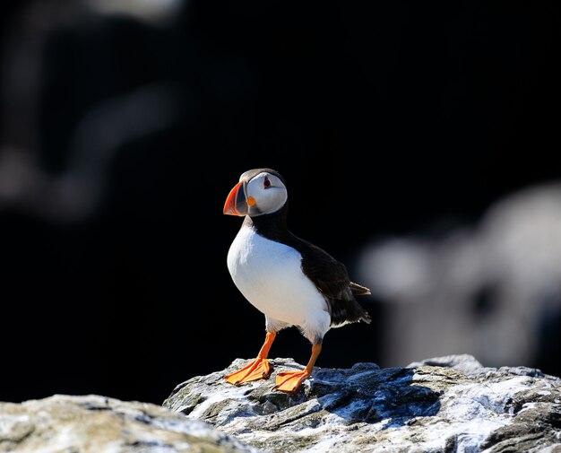 Un simpatico puffino atlantico si rilassa sotto la calda luce del sole sulle isole farne in inghilterra