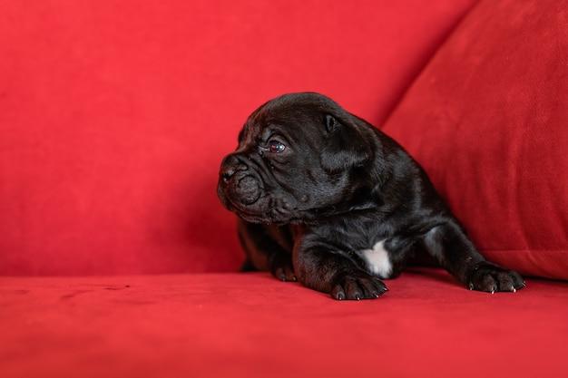 Un grazioso cucciolo nero della razza italiana cane corso. sfondo rosso