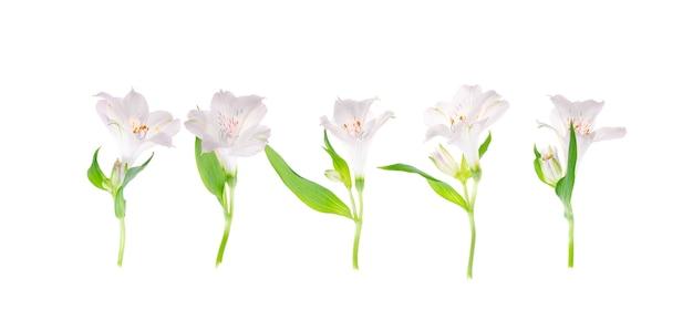 Un delicato fiore rosa isolato su uno spazio bianco.