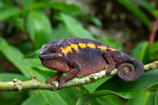 Un camaleonte color terra su un ramo