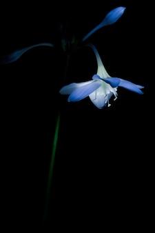 Primo piano di un fiordaliso di un fiore su sfondo nero