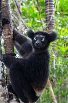 Un lemure indri sull'albero osserva i visitatori del parco