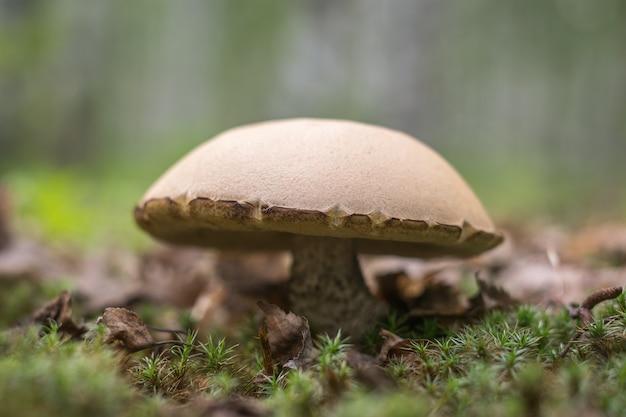 Un grande porcino nella radura della foresta. minimalismo. funghi allo stato brado. messa a fuoco selettiva.