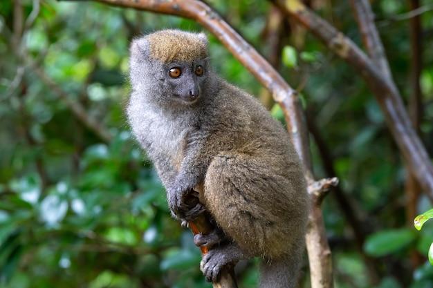 Un piccolo lemure sul ramo di un albero nella foresta pluviale