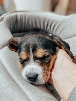 Un cucciolo di beagle di un mese giace nel suo letto e dorme dolcemente sullo sfondo di un'atmosfera familiare sfocata e di un bokeh di cuori.