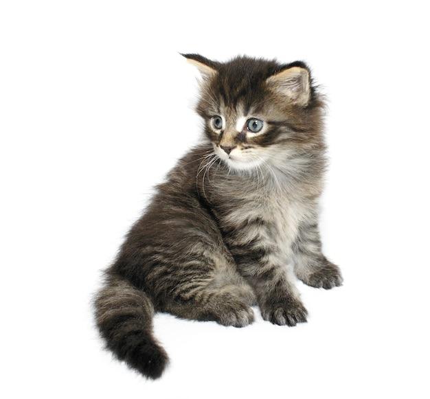 Maine coon gatto di un mese