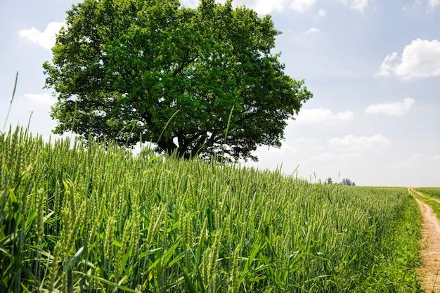 Una quercia che cresce in un campo con piante agricole, un campo per la coltivazione di cibo e strada