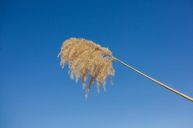 Una pampa erba contro il cielo blu con copia spazio
