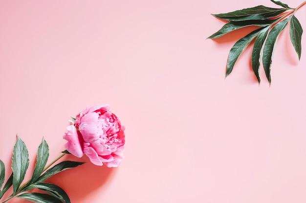 Un fiore di peonia in piena fioritura colore rosa vibrante isolato su rosa pallido