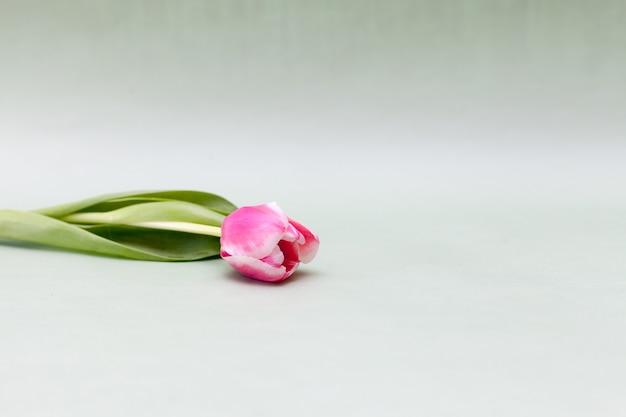 Un tulipano rosa su sfondo verde chiaro
