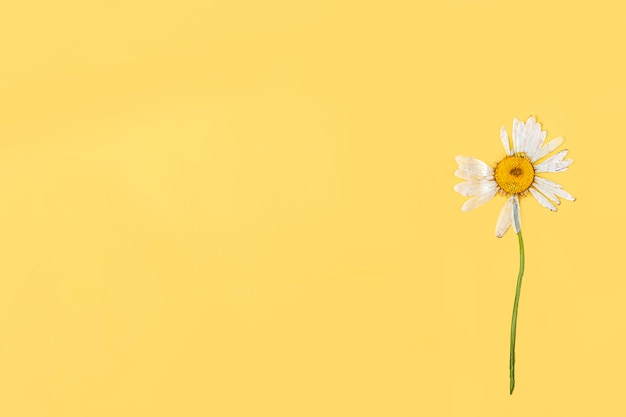 Un fiore di camomilla essiccato pressato su sfondo giallo. composizione piatta, mock up per cartolina, biglietto d'invito. copia spazio per il testo. erbario, sfondo floreale.