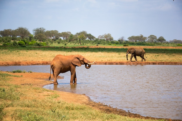 Un elefante rosso beve l'acqua da una pozza d'acqua