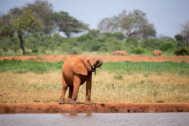 Un elefante rosso sta bevendo acqua sulla pozza d'acqua