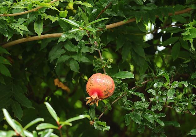 Un frutto di melograno rosso che cresce tra il fogliame verde