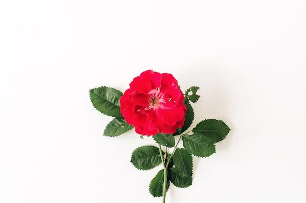 Una rosa rossa fiore isolato su sfondo bianco