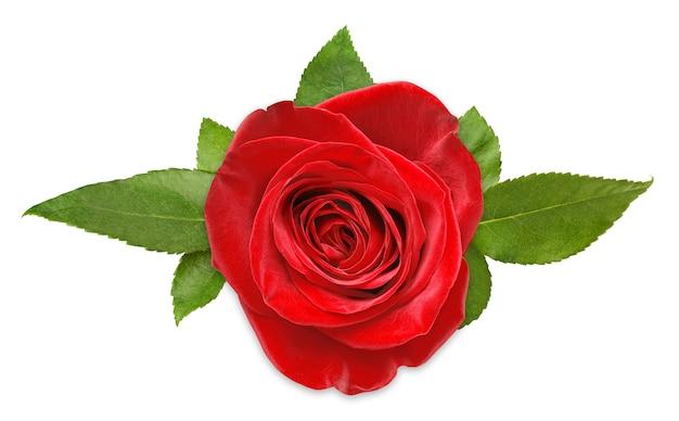 Una rosa rossa con foglie vista dall'alto, isolata sulla superficie bianca