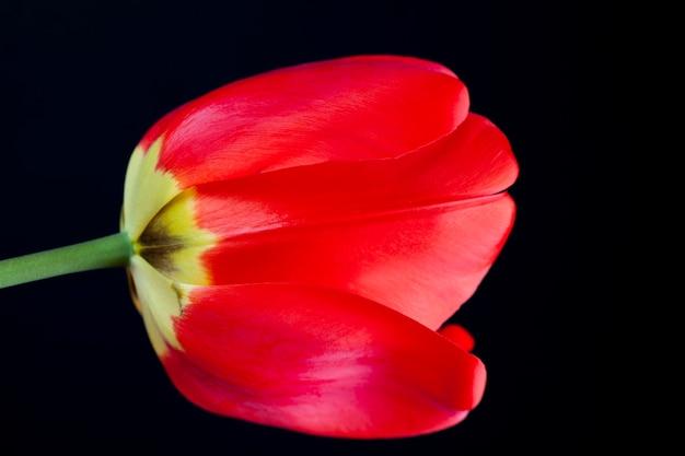 Un tulipano rosso nella stagione primaverile