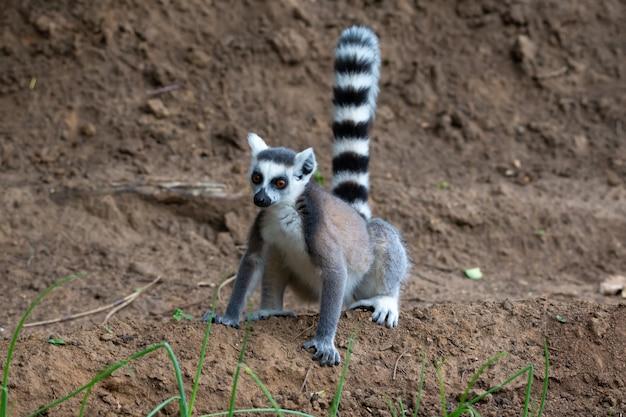 Un lemure dalla coda ad anelli salta nei campi della gente del posto