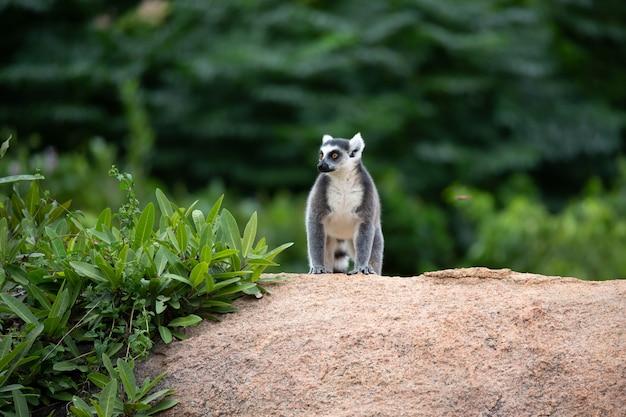 Un lemure dalla coda ad anelli su una grande roccia di pietra