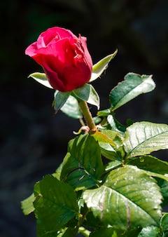 Una rosa in giardino d'estate