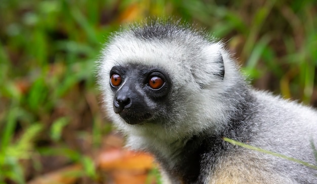 Un lemure sifaka siede sull'erba e osserva cosa succede nella zona