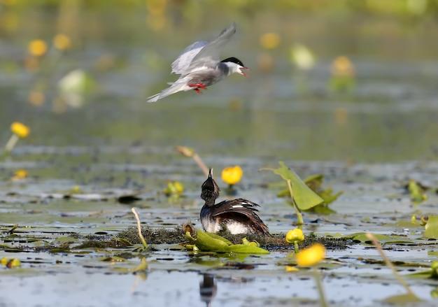 Una sterna baffuta attacca uno svasso dal collo nero sul loro nido. momento esotico.