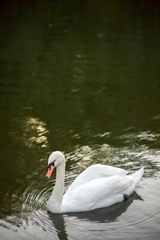 Un cigno bianco in acque calme in un lago