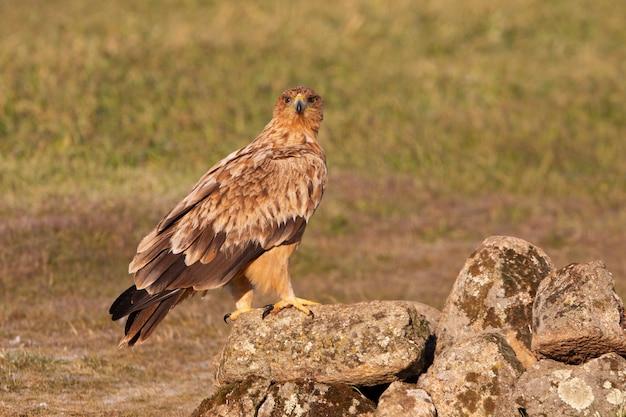 Aquila imperiale spagnola femmina di un anno con le luci dell'alba sul suo trespolo preferito