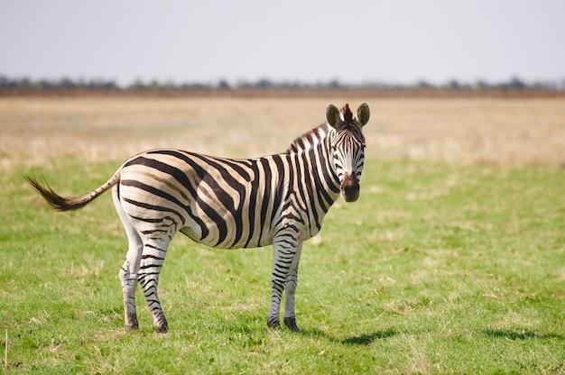 Una zebra che pasce sull'erba