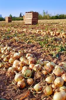 Raccolta della cipolla a valencia spagna huerta